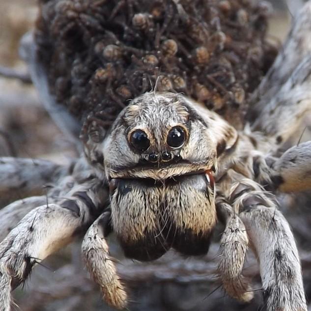 """As aranhas da família Lycosidae, tem os olhos dispostos desta forma (observem na foto), dois olhos """"grandes"""" virados para a frente, abaixo destes dois tem quatro mais pequenos dispostos em """"fila"""", e dois olhos laterais (um em cada lado) de tamanho intermédio."""