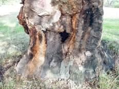 """Nos troncos desta árvore notam-se as cicatrizes de uma vida cheia, não sei quantos anos terá, mas certamente que já """"viu"""" mais que qualquer homem ousou imaginar."""