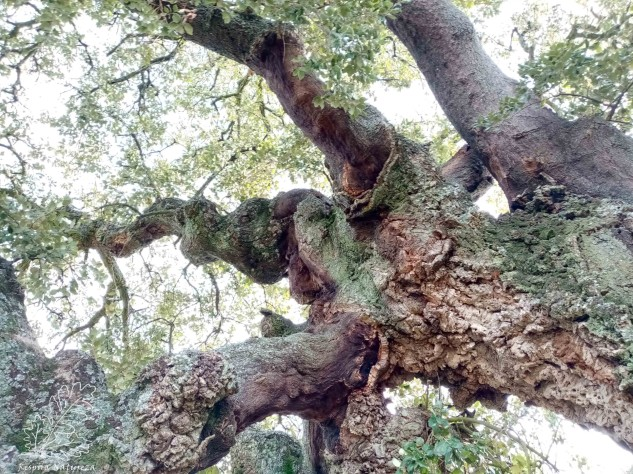 Olhando para o alto, os troncos contorcem-se de forma esbelta e parecem desaparecer no céu. Pura ilusão, mas é o que esta fotografia parece querer ilustrar.