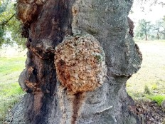No tronco, um grande nódulo assemelha-se a um grande nariz...