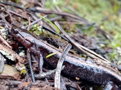 Salamandra-lusitânica Chioglossa lusitanica