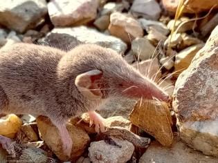 """Tem uma cabeça grande, as orelhas são salientes e parecem """"amarrotadas"""", no focinho apresenta grandes bigodes que ajudam a localizar as presas, pois os olhos são diminutos e não ajudam muito na procura de alimento."""