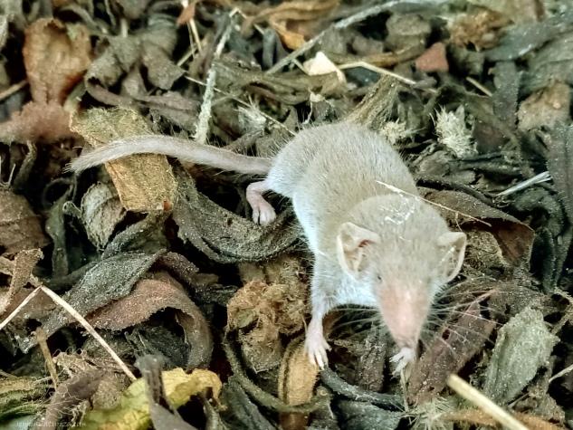 Dado o seu reduzido tamanho é predado por vários animais, desde aves, lagartos, cobras, mamíferos entre outros. No entanto apesar do seu diminuto tamanho é muito activo e voraz, sendo por isso benéfico no controlo de populações dos insectos e macro-invertebrados de que se alimenta