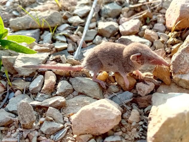 Há dias quando me deparei com este animal, para ser sincero fiquei contente. São animais interessantes, parecidos com ratos, mas pertencem a famílias diferentes. Os ratos são da família dos Murídeos, enquanto os musaranhos pertencem à família Soricidae.