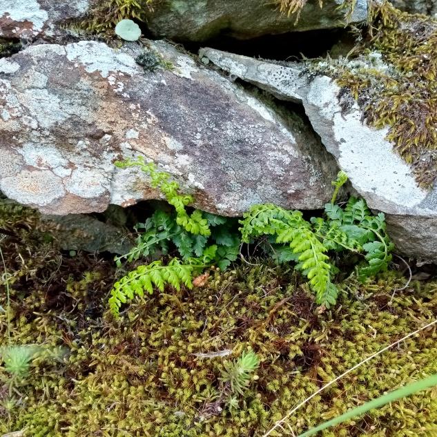 De dia esconde-se por entre raízes, pedras ou muros velhos. Encontrei-o ao arrancar uma raiz de urze, caso contrário, dificilmente o teria visto no meio da vegetação.