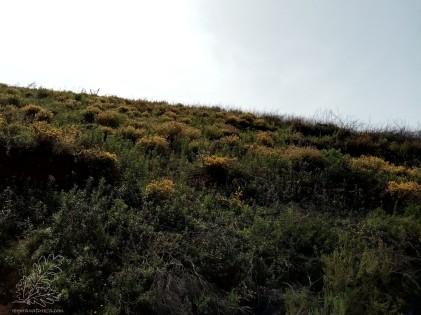 O habitat onde o encontrei, era essencialmente dominado por carquejas e estevas, no entanto também existem alguns pinheiros não muito grandes. Por ali também encontro tojos, rosmaninho, urzes, lentiscos entre muitas outras plantas, portanto uma zona de mato baixo a uns 300 metros de altitude.