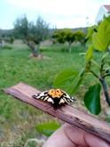 É uma mariposa que pelo seu padrão e cores, não passa despercebida. Normalmente as borboletas diurnas são mais coloridas que as nocturnas, mas esta não se deixou ficar atrás.