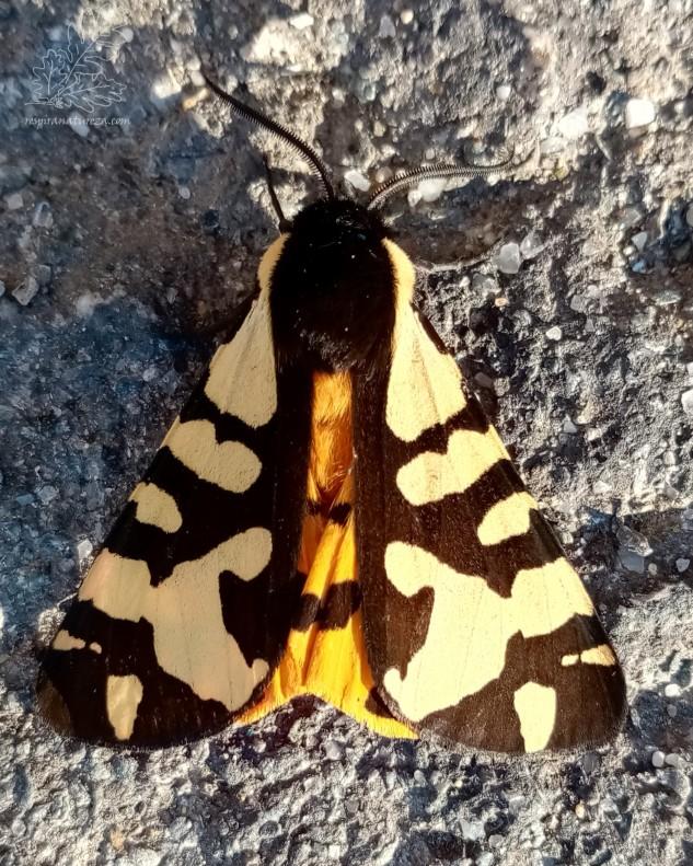 Nestes últimos dias tenho reparado numa bonita mariposa que tem aparecido regularmente à minha porta… provavelmente atraídas pela luz do candeeiro de rua algumas acabam por ficar até ser dia…
