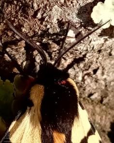A parte superior do abdómen é laranja com pontos pretos e a extremidade é vermelha. A parte superior do tórax está coberta de pelos negros, nos flancos do tórax tem uma mancha branca. Já a parte inferior do tórax apresenta pelos vermelhos.