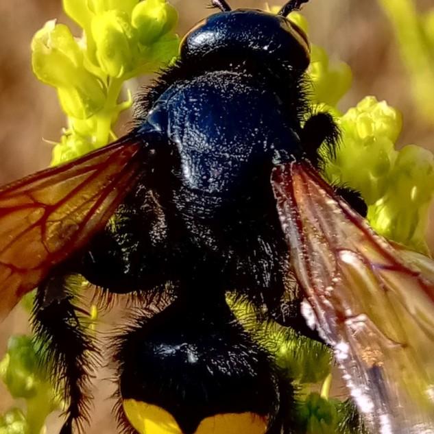 Tanto o macho como a fêmea têm o corpo coberto de pelos pretos e brilhantes, apresentam alinhadas aos pares quatro grandes manchas amarelas no abdómen, por vezes estas encontram-se unidas, dando lugar a apenas duas grandes manchas.